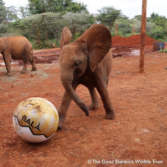 Elephant with Giant Ball